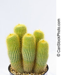 long golden cactus in pot isolated on white background