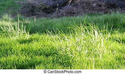 Long Grass blowing in wind - Abstract background closeup of...
