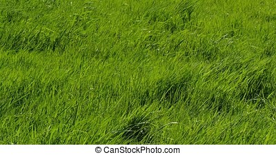 Long Grass in the Wind, Normandy in France, Real Time