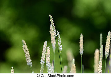 Long grass on the summer meadow on a sunny day close up