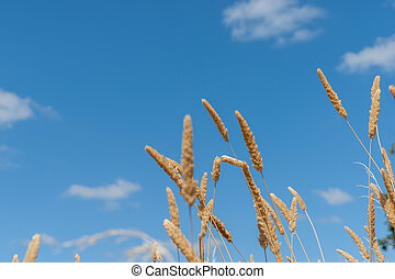 long grass seed head under blue sky