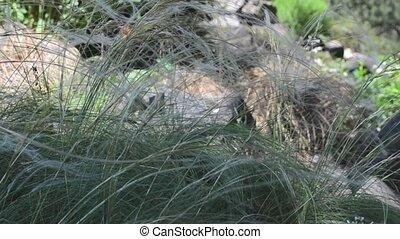 Long grass (Stipa lessingiana) trembling on the hard wind
