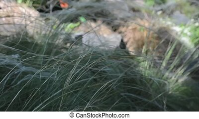 Long grass (Stipa lessingiana) trembling on the wind