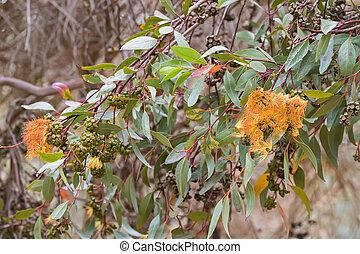 Long green Eucalyptus leaves and gum seeds, flower bud of...