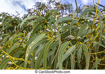 Long green leaves and gum seeds, flower bud of Tasmanian...