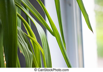 Long green leaves of a home plant