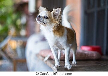 Long hair chihuahua dog on table