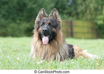 Long hair german shepherd dog