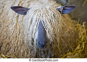 Close up of a Long haired sheep face