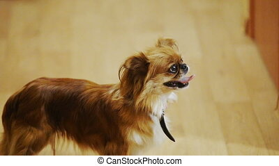 Long-haired chihuahua at home He smiles Portrait -...