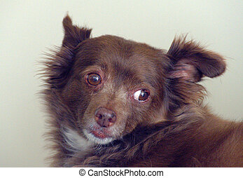 Long Haired Chihuahua - Long haired Chihuahua against plain ...