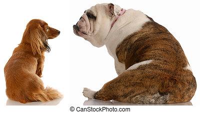 long haired dachshund and english bulldog looking at each...