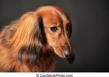 Long-haired dachshund in studio.