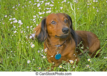 long haired dachshund in wildflowers - red and black long...