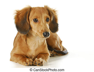 long haired dachshund puppy laying down isolated on white background