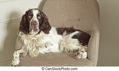 Long-haired dog lies on a chair - English springer spaniel ...