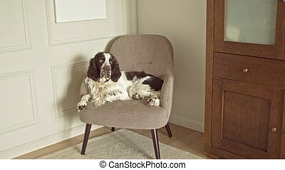 English springer spaniel lies on a chair in the corner of the room