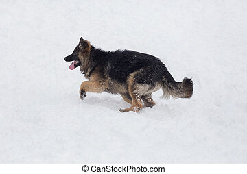 Long haired german shepherd dog puppy is running on a white snow in the winter park. Pet animals.