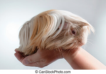 long haired guinea pig in front of a white background
