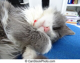 Long Haired Kitten Sleeping on a Blue Office Chair