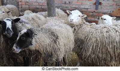 long-haired lambs stall in winter, animals
