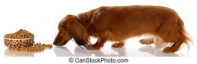 long haired miniature dachshund sneaking up to bowl of dog...