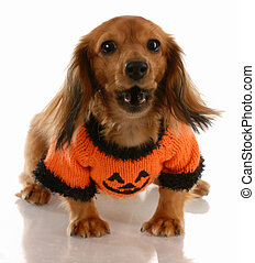 long haired miniature dachshund wearing pumpkin sweater with saucy attitude
