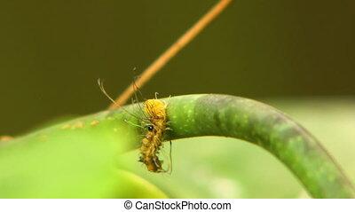 Long-Haired Silkworm Caterpillar Falling Over Vine - Steady...