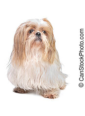 long haired small dog in front of a white background