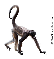 long-haired spider monkey (Ateles belzebuth). Isolated on ...
