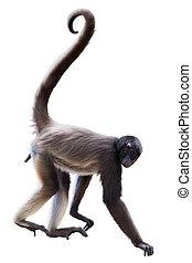 long-haired spider monkey - Long-haired spider monkey. ...