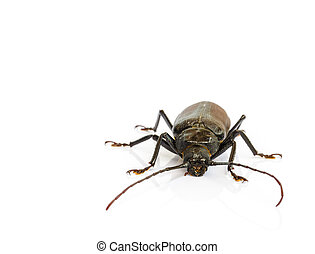 long horn beetles isolated on white background.