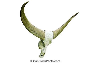 long horn buffalo skull on white