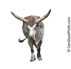 long horn bull isolated on white background