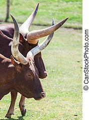Long horn cattle in the sun