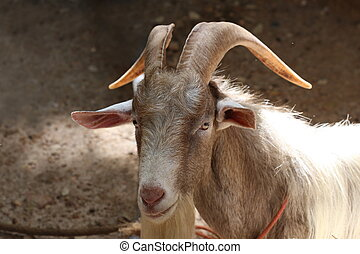long horn goat, nature wildlife