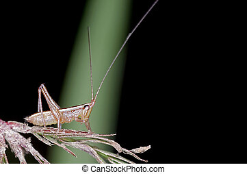 long horn grasshopper larva - A young larva of long horn...