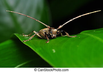 Long Horn Insect - Front View