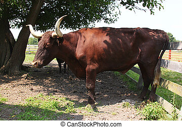 Long Horn Steer - A steer rubs his rear end on a fence