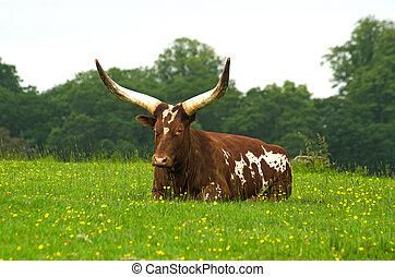 Long horned Ankole cow
