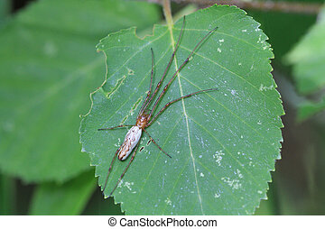 Long Jawed Orb Weaver Spider