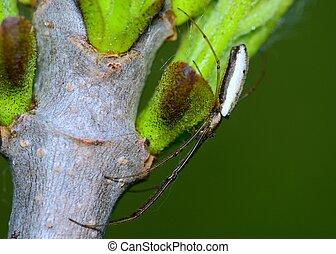Long-jawed Orb Weaver Spider