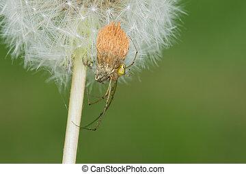Long-jawed Orb Weaver (Tetragnatha laboriosa)