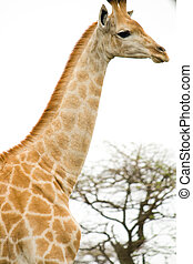 long neck giraffe - a giraffe with a very long neck
