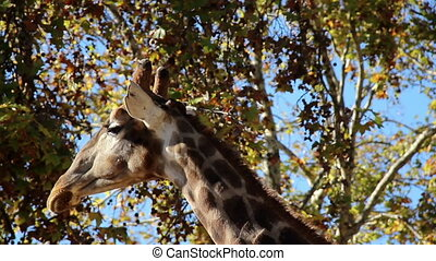 Long neck giraffes are very common in Africa. This herbivore can eat high foods that other animals cannot.
