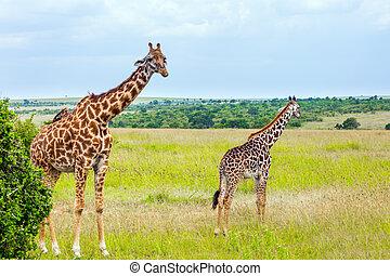 Long-necked giraffes