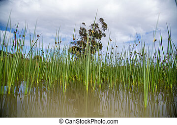 Long peaceful reeds in the water - Peaceful long green reeds...