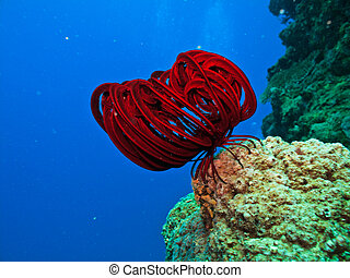Long Red tentacles on sea creature on coral reef  in Great Barrier Reef Australia