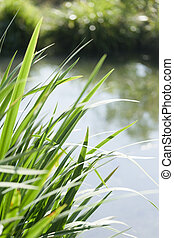 Long reeds next to water.