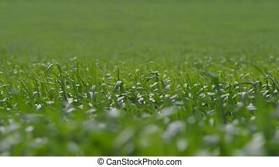 The Green Grass Swaying in the Wind